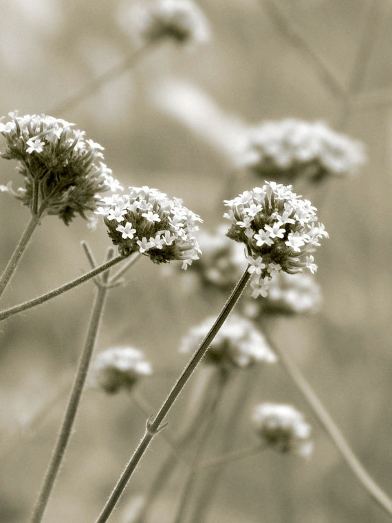 Black and White French Country Flower Photo Shabby Chic Fine Art Photography