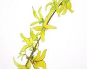 Botanical Watercolor Illustration, Forsythia painting, home decor