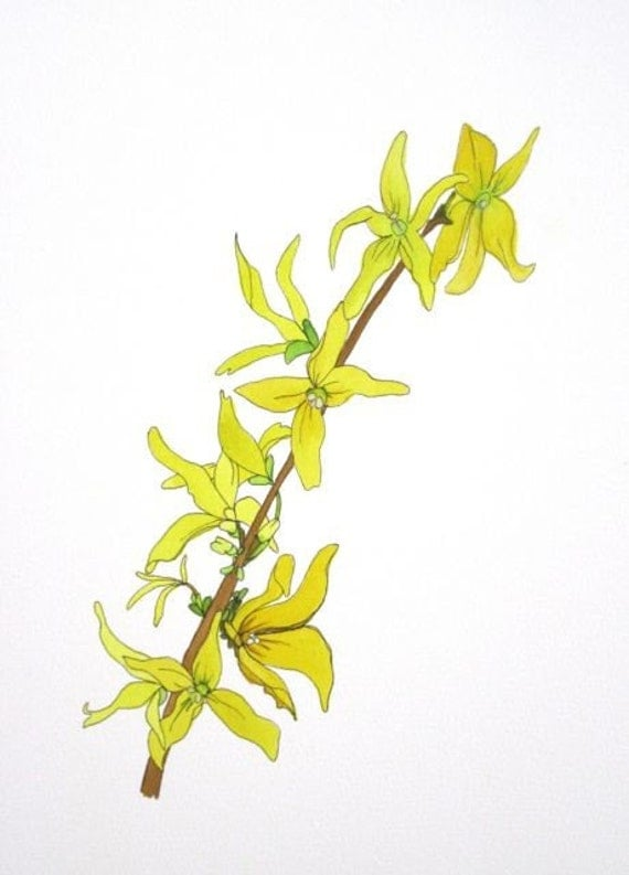 Botanical Watercolor Illustration, Forsythia painting, home decor