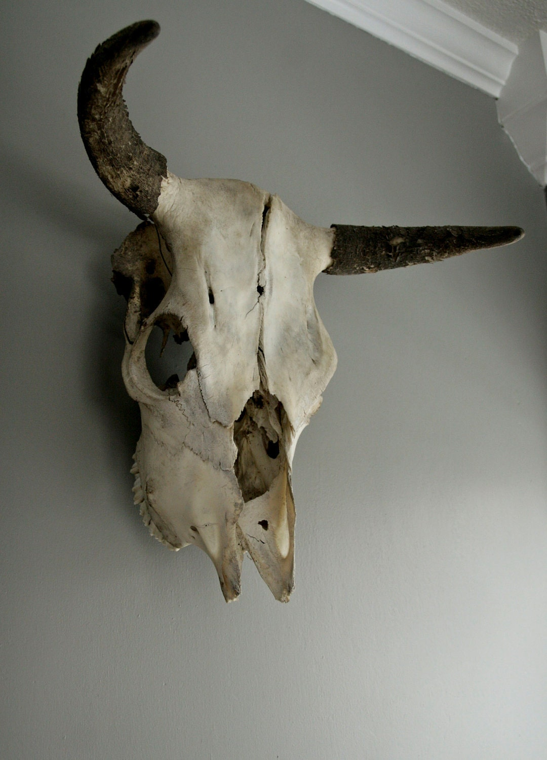 Vintage Bull Skull With Horns  U0026 Teeth