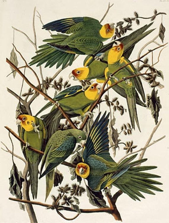 Carolina Parakeets by John James Audubon mono deluxe Needlepoint Canvas