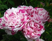 Beautiful Rose - Variegata di Bologna - Purple and Cream Stripes - Stunning Spring Bloomer