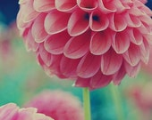 my favorite dahlia-8x10 signed fine art photograph