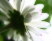 Little Big Daisy. Dreamy White Summer Flower with Pink Freckles. Simple Bloom. Common Daisy. Bellis perennis. Photo 12x16