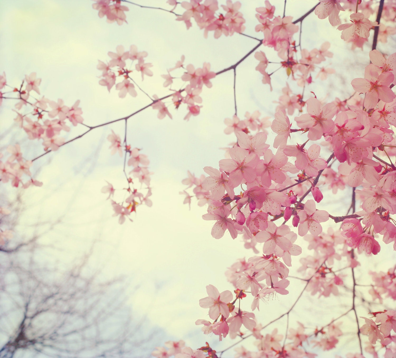 Cherry Blossom Print Tree Pink Cherry Spring Art Fine Art
