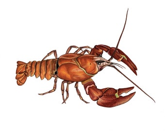 Crayfish Print 8x10