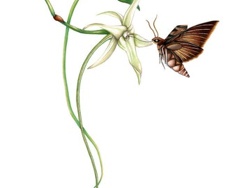 Darwin's Hawk Moth Print 8x10