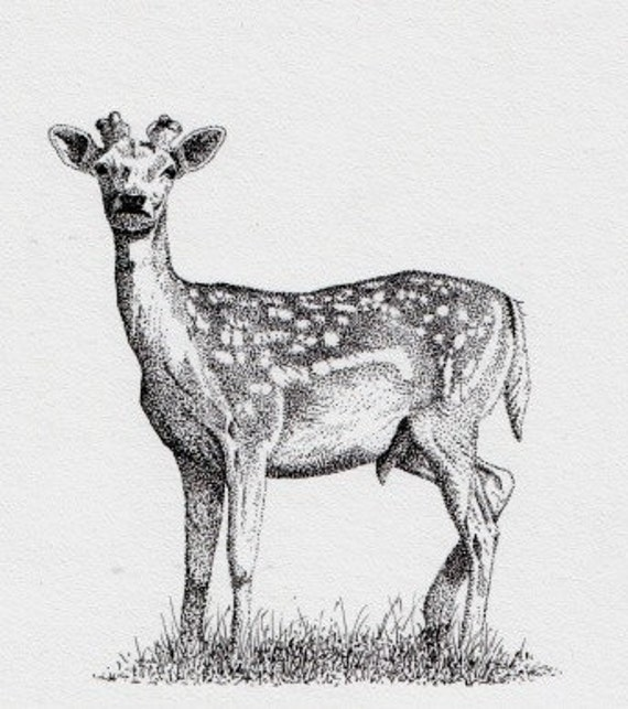 Pen and ink drawing of a deer - The Watcher