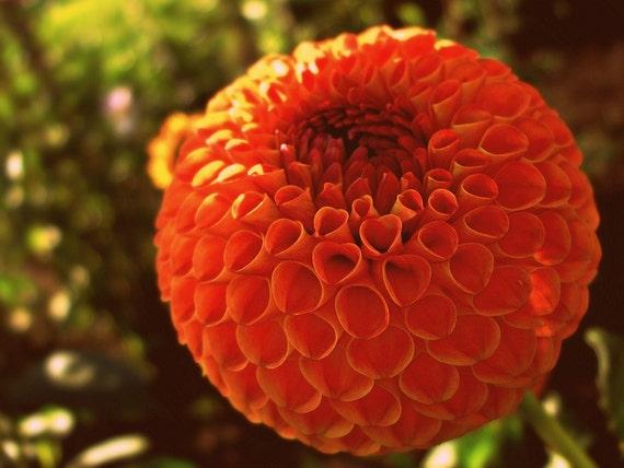 Dahlias, Orange, Gardens, Flowers, 8 x 10, Fine Art Photographic Prints