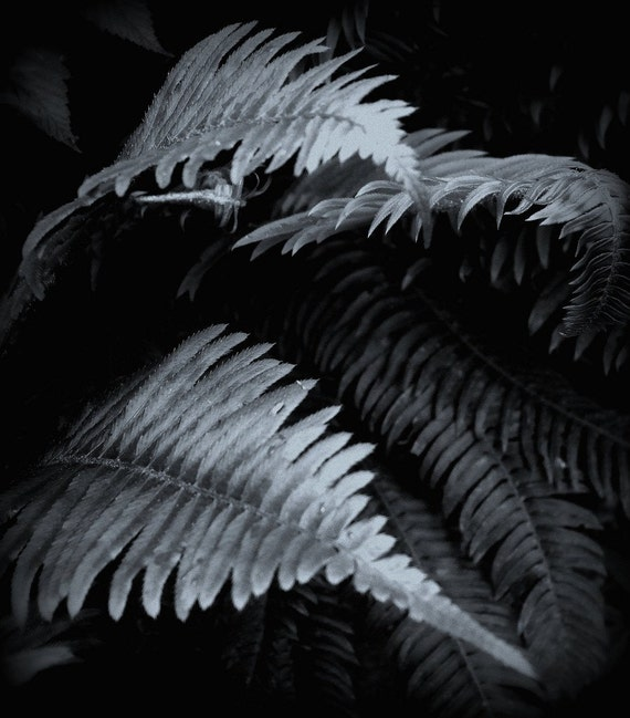 Woodland Wonders, Ferns, Abstract, Nature, Black and White Photography,  8 x 10, Fine Art Photography