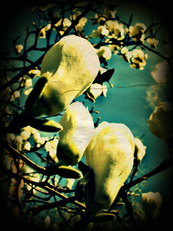 Floral Photography, Tulip Tree, Flowering Trees, White, Blue, Green, Garden, Spring Time, Home Decor, 8 x 10 print,
