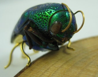Real Jewel Beetle Pin - real bug made into wearable art