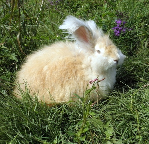 Organic Rabbit Wool Fibers from Blue Bell Natural Lynx English Angora Rabbit Fur Hair No Fillers Cruelty Free 5/8 Ounce NOT Cut