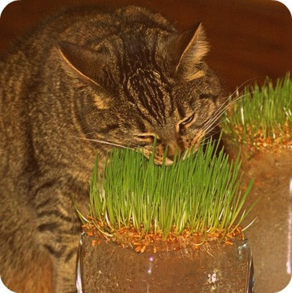 Non GMO Cat Grass Seeds Organic Wheat Grass Seed for your Frisky Green Loving Feline or Bunny Safe Seed Pledge Farm Flat Rate Shipping