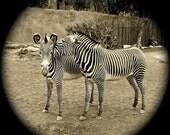 Zebra's Secret photograph, ink jet print, 7x7