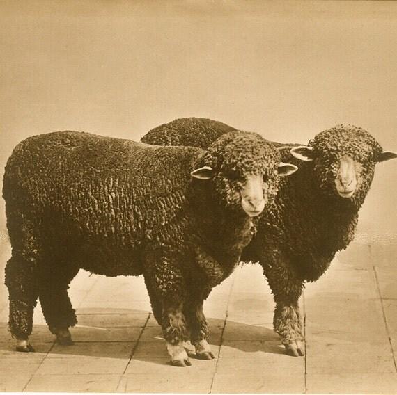 Something Sheepish, Vintage photo, print on wood art panel,