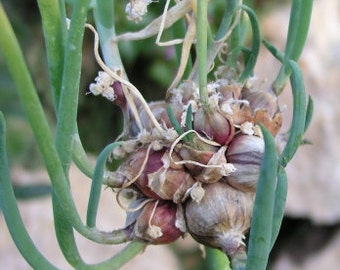 Walking Onions - 3 perennial bulbs