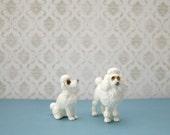 Gift boxed Teeny tiny poodles