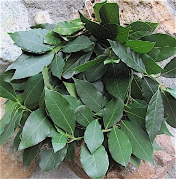 Winter Wreath, Organic Freshly Drying Bay Leaf Wreath.Including Free Baggie of bay dried leaves.