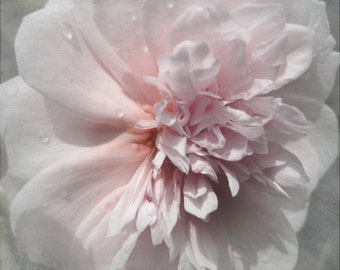 English Rose Photograph, Pink Floral Print, Summer Flower Print, Rose Garden Photo, Bedroom Decor, Girl's Room Decor, Romantic Art Photo