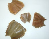 HORSESHOE CRAB SHELLS for your collection or any project / Lot of 4