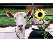 Goat and Sunflower, photo notecard