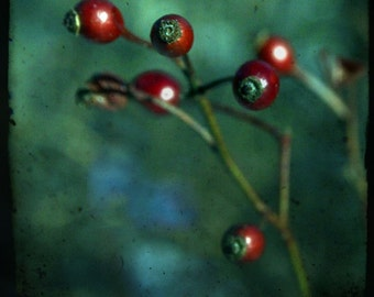 Rose hips, interrupted (single holiday card, photo art print and envelope)