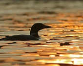 Loon at Sunset Notecard