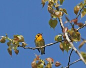 Warbler Notecards - Pick your set of three