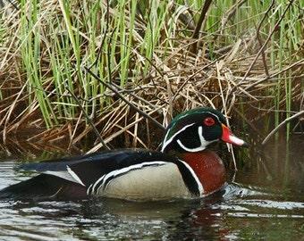 Male Wood Duck - 8 x 10 Photograph