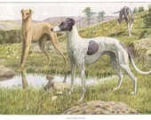 1919 Print of Greyhound Dogs by Louis Agassiz Fuertes