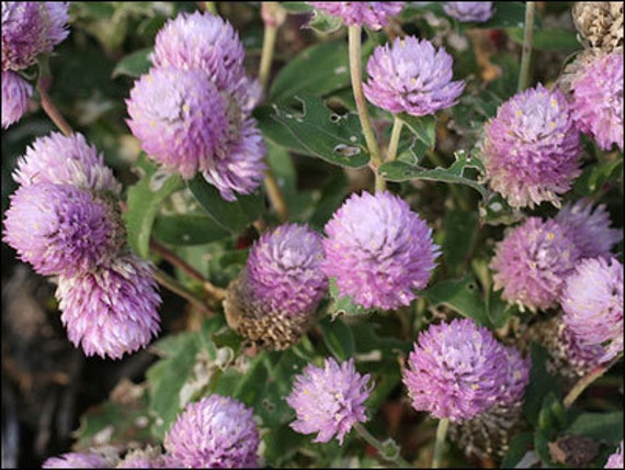 Globe Amaranth Seeds