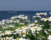 """5x7 Photograph of daisy flowers by ocean, """"Daisies by the Sea"""""""