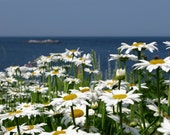 Daisies by the Sea  5x7 Print, Matted to 8x10