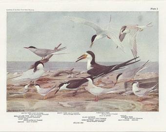 Arctic Tern Bird Print - Plates 7 & 8