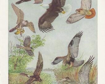 Birds of Prey Prints Plates 43 & 44