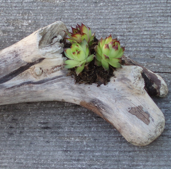 Items Similar To Driftwood Succulent Planter On Etsy