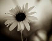 Sunflower 5 Sepia, 8x10 Fine Art Photograph