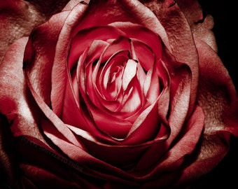 Gothic Red Rose Fine Art Print - Nature, Botanical, Wildlife, Garden, Nursery Decor, Home Decor, Baby, Zen, Gift