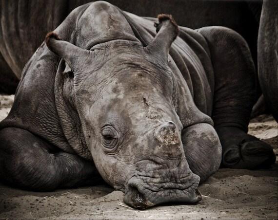 Gray Baby Rhinoceros Sleeping Fine Art Print