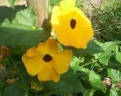 20 seeds black eyed susan vine Free Shipping