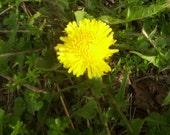 500 fresh organic dandelion seeds Free Shipping