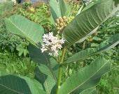 2,000 seeds common milkweed Free Shipping
