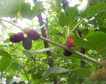 20 seeds red mulberry tree Free Shipping