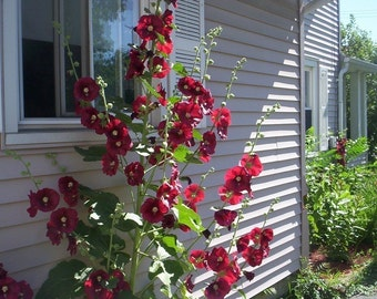30 seeds red hollyhock Free Shipping