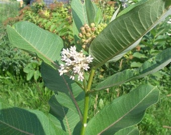3,000 seeds common milkweed Free Shipping