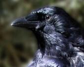 Auf der Hut - Porträt von Zelda - ACEO Crow Fotografie