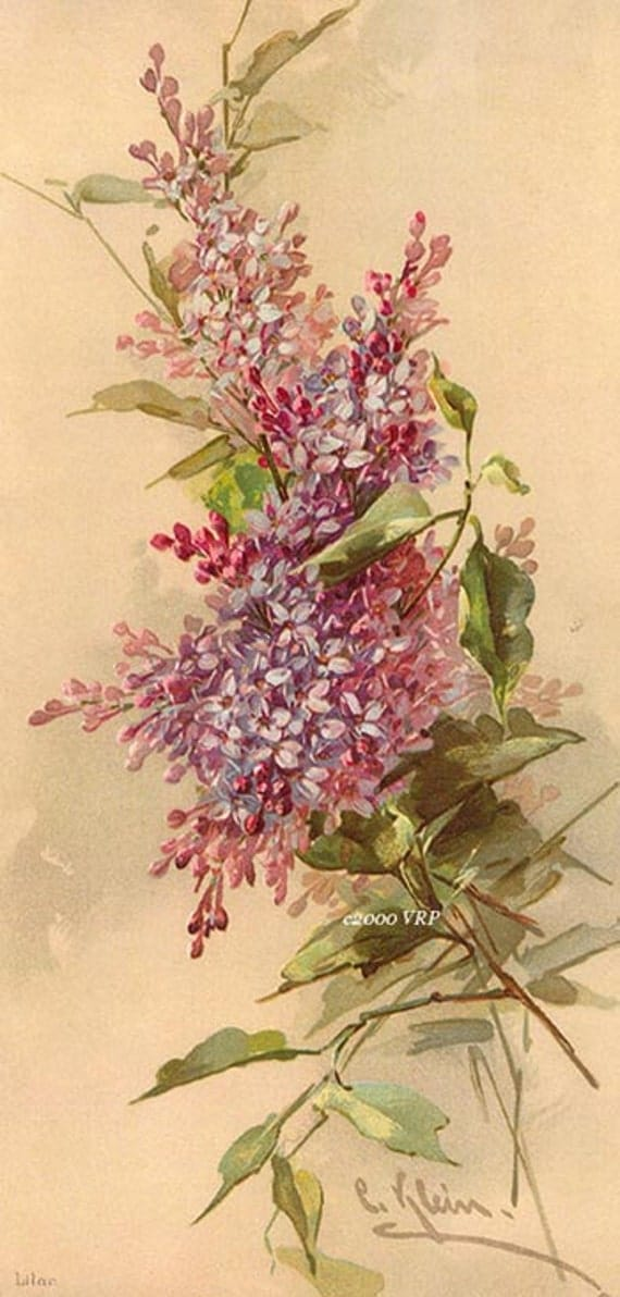 Print FREE SHIP French Lilacs Flower C. Klein