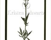 VALERIAN - Valeriana capitata ssp. californica - HAND-TINTED BOTANICAL PRINT