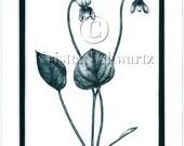 VIOLET - Viola spp. macloskeyi - HAND-TINTED BOTANICAL PRINT